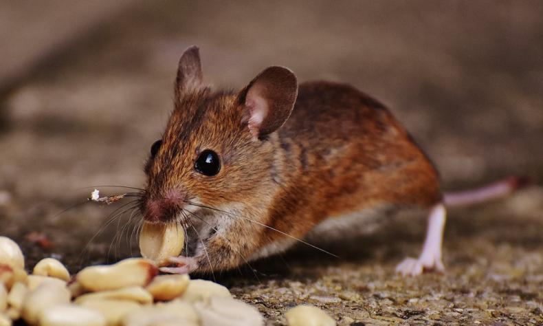 Mouse Plague